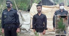 পটুয়াখালীতে পুকুর পাড়ে গাঁজা চাষ, কলেজছাত্র ধরা