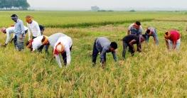 কোটালীপাড়ায় কৃষকের ধান কেটে দিচ্ছেন ছাত্রলীগ নেতাকর্মীরা