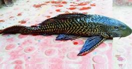 চাটমোহরে জেলের জালে এটা কী মাছ?