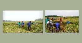 গাজীপুরে ধান কেটে ঘরে তুলে দিলো কৃষকলীগ