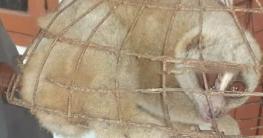 বিরল প্রজাতির লজ্জাবতি বানর উদ্ধার