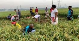 টংগীতে ৩ বিঘা জমির ধান কাটলেন ছাত্রলীগ নেতাকর্মীরা