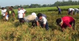 গোপালগঞ্জে হতদরিদ্র চাষিদের ধান কেটে দিল ছাত্রলীগ