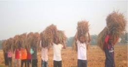 টুঙ্গিপাড়ায় কৃষকের ধান কেটে দিলো পৌর ছাত্রলীগ