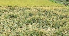 গরম বাতাসে গোপালগঞ্জে ৯০ কোটি টাকার ধানের ক্ষতি