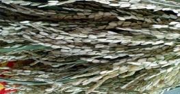 কোটালীপাড়ায় ক্ষেতের ধান ঝলসে কৃষকের সর্বনাশ