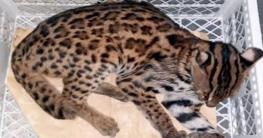 কুমিল্লায় বিরল প্রজাতির মেছো বাঘ উদ্ধার